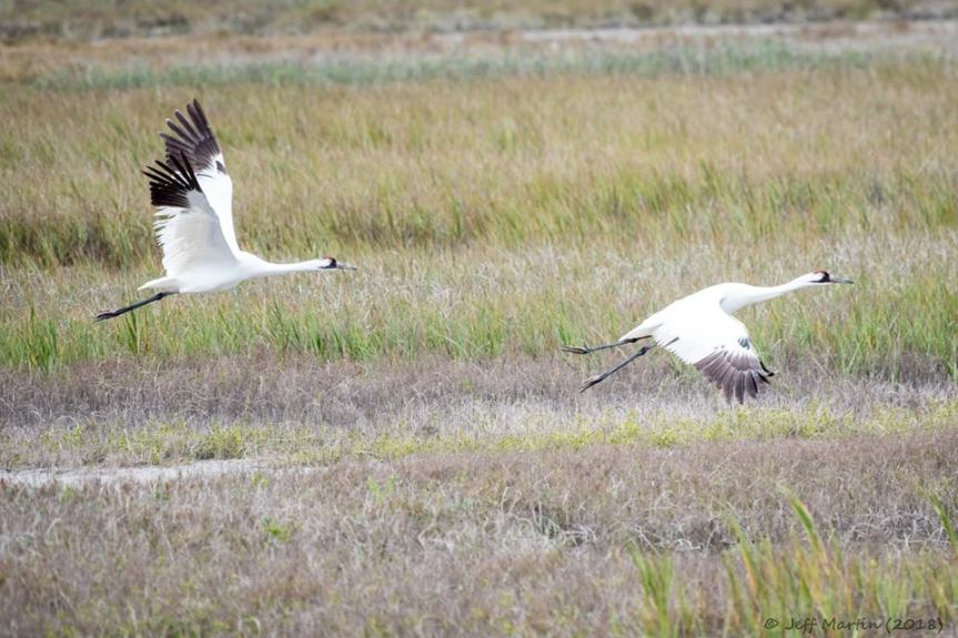 Whooping Cranes leaving soon