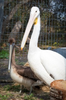 adult pelicans in cage